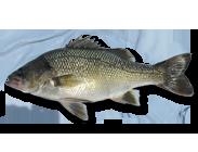 Australian-Bass-183x140