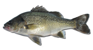 Australian Bass- Macquaria novemaculeata