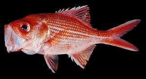 Bight-Redfish