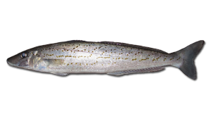 King-George-Whiting
