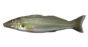 Sand-Whiting