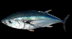 Southern-Bluefin-Tuna