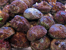 Roe's Abalone - Haliotis roei