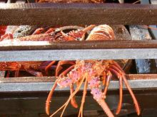 western rock lobster fishing get fishing