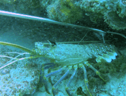 how to catch crays western rock lobster