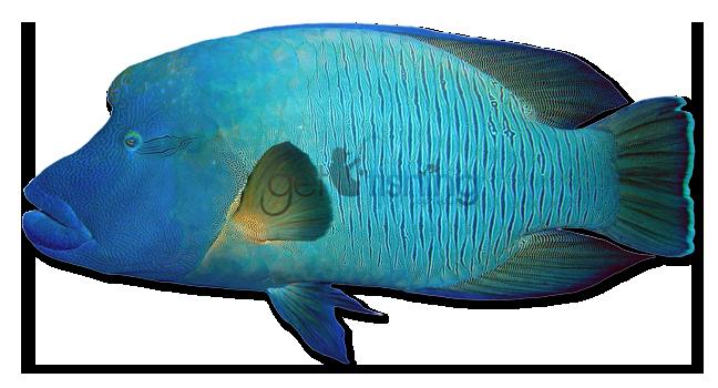 Humphead Maori Wrasse | Get Fishing | 648 x 350 png 344kB