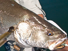 Mulloway news get fishing