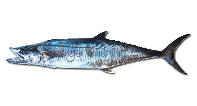 Spanish mackerel fish identification get fishing for Spanish mackerel fish