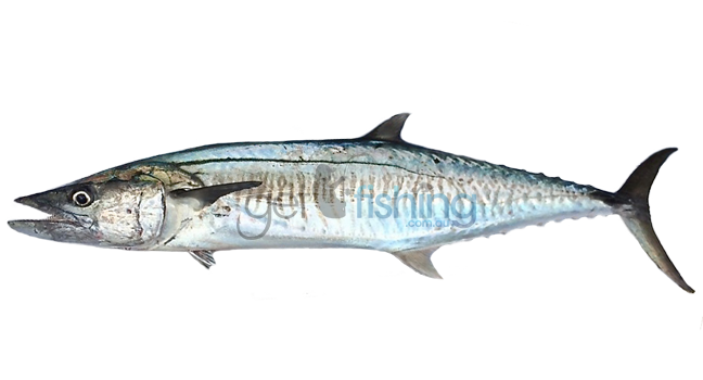 Spanish mackerel get fishing for Spanish mackerel fish