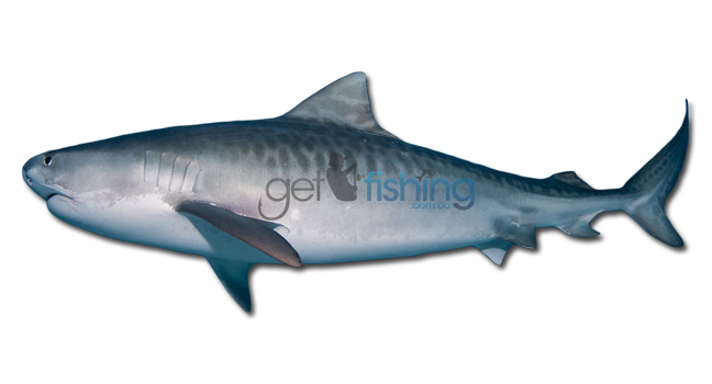Tiger shark get fishing for Tiger strike fish game cheats