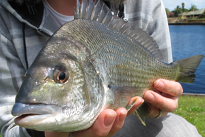 black bream fishing mandurah