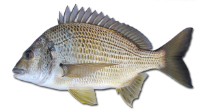 yellowfin bream Acanthopagrus australis