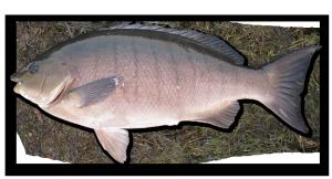 luderick blackfish