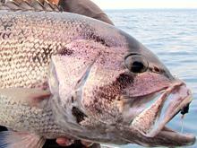 wa-dhufish-port-gregory
