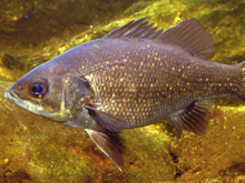 Australian Bass, fishing, nsw, sydney