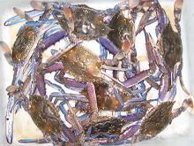 blue manna swimmer crabs, cockburn sound, western australia wa