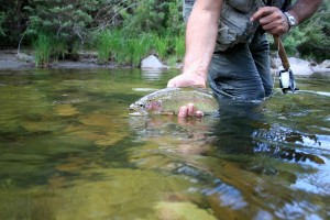 Rainbow trout in a stream