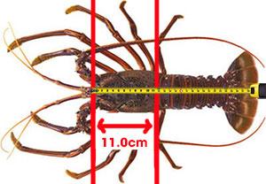 measure lobster