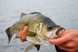 how to catch estuary perch