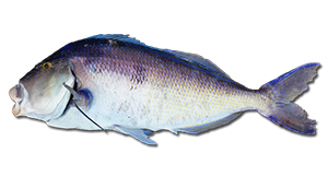 how to catch blue morwong queen snapper