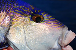 queen snapper blue morwong close up