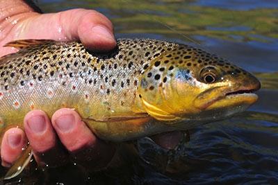 juvenile-brown-trout