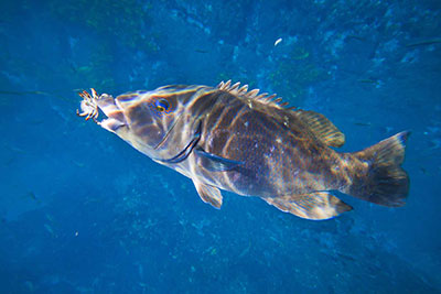 blue groper fishing with crabs