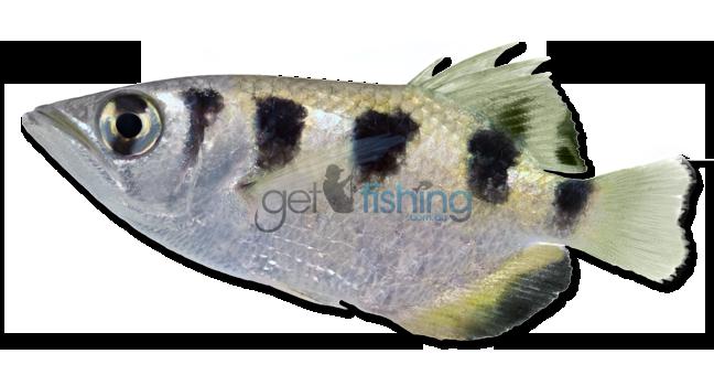 Fish Identification | Species ID | Australia | Get Fishing
