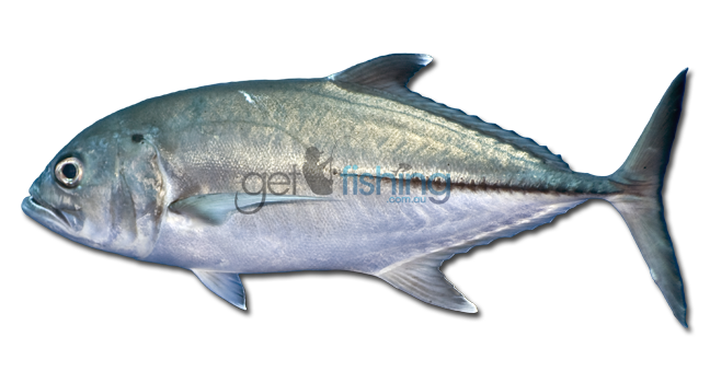 Bigeye trevally get fishing for Names of fish to eat