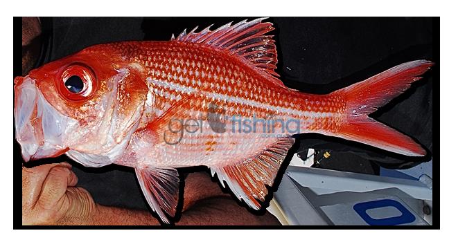 Fish Identification   Species ID   Australia   Get Fishing