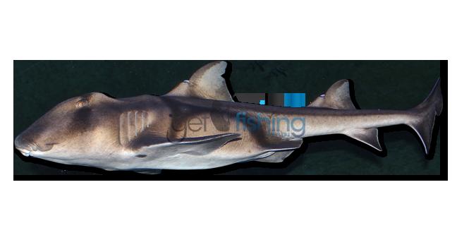 Port Jackson Shark Get Fishing
