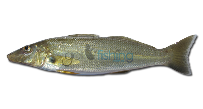 Sand whiting get fishing for Whiting fish picture