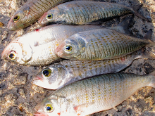 concerns over australian herrinf stocks - fishing news