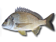 Yellowfin Bream - Acanthopagrus australis