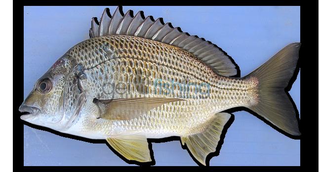 Baby Bream Fish