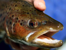 Rainbow Trout close up snowy mountains australia