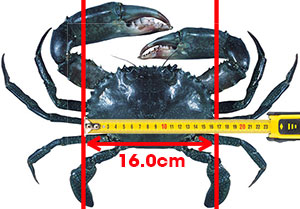 measure-Mud_Crab-300pixels-wide