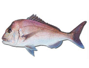 how to catch snapper_pagrus auratus_pink snapper